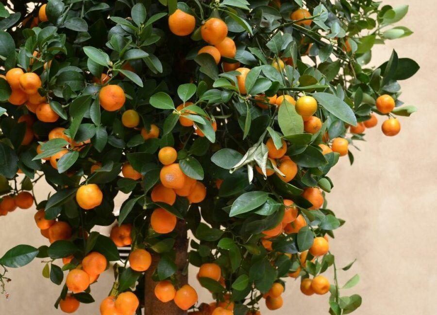 albero di Mandarini - cortile SurReale